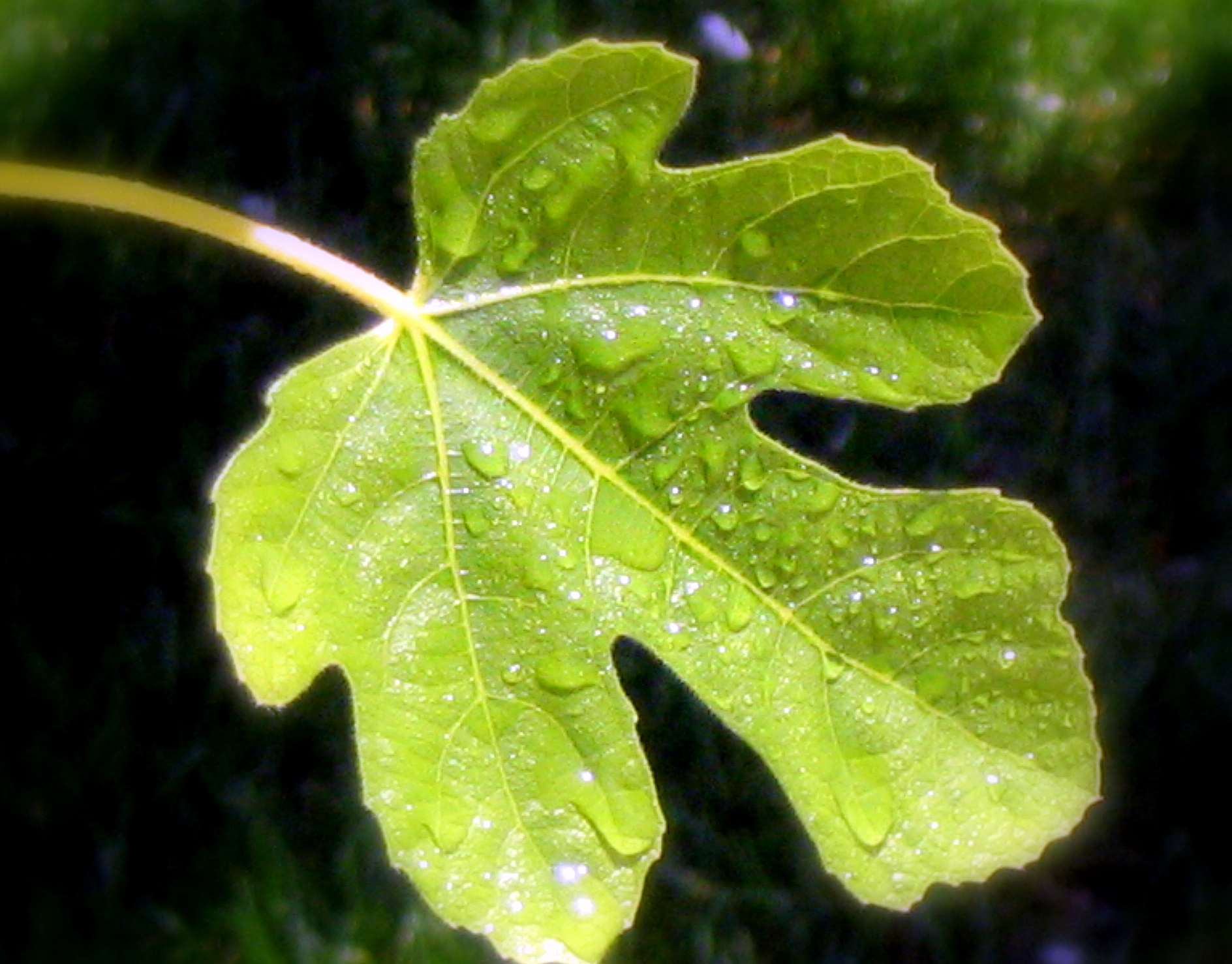 Spring: the season of fig-leaves
